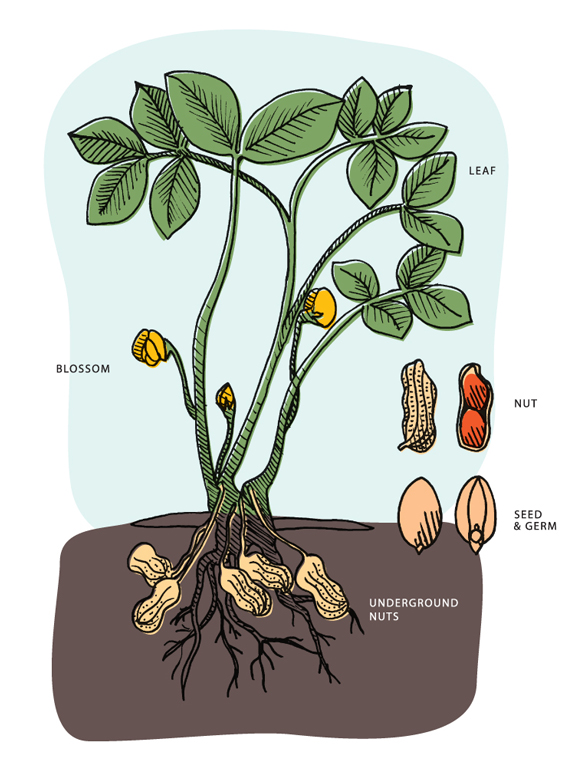 panuts-grow-image